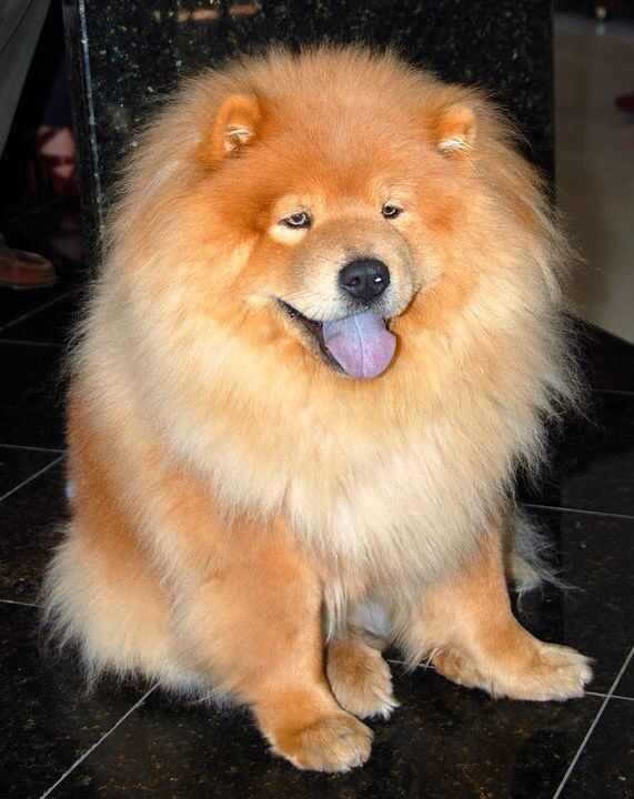 Chow Chow Spitz Dogs Cute Dogs Chow Chow Dogs