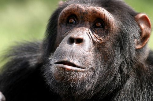 Chimpanzee photo by Craig R. Sholley