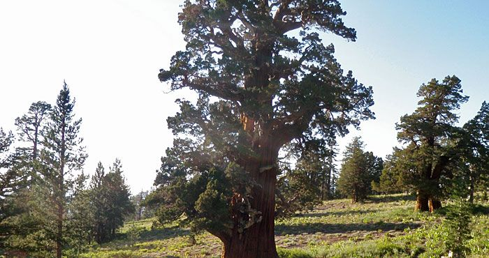 This extraordinary tree is under Save the Redwoods' protection in California's Stanislaus National Forest because The Nature Conservancy conveyed it and the surrounding buffering land to us in 1987. Before then, rancher JW Martin Sr. protected the tree until donating it and the surrounding three acres in 1978 to The Nature Conservancy.
