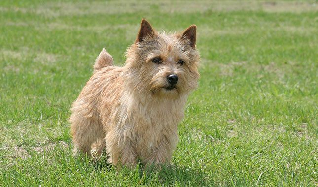 Norwich Terrier My Second Favorite Small Dog They Are Super