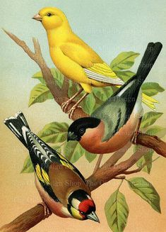 "This vintage printable art illustration features three beautiful, colorful birds perched on a tree branch. The birds included are: European Goldfinch, Norwich Canary, and European Bullfinch. With your purchase you will receive: One 7.93"" x 11"" (2377 x 3300 pixels) digital image. High resolution 300"