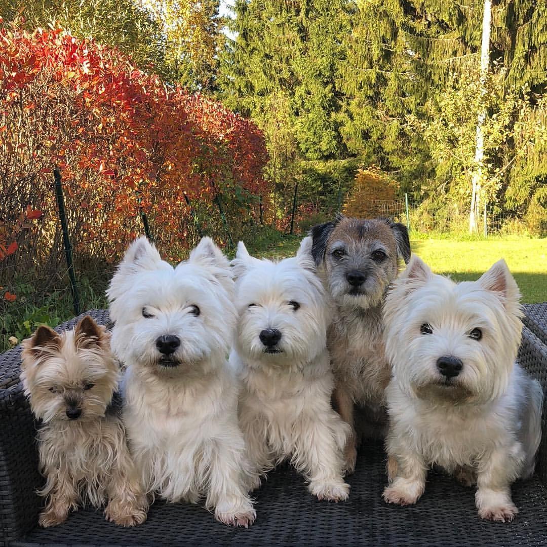 Pin By Rachael On Westies Westies Cute Dogs Beautiful Dogs
