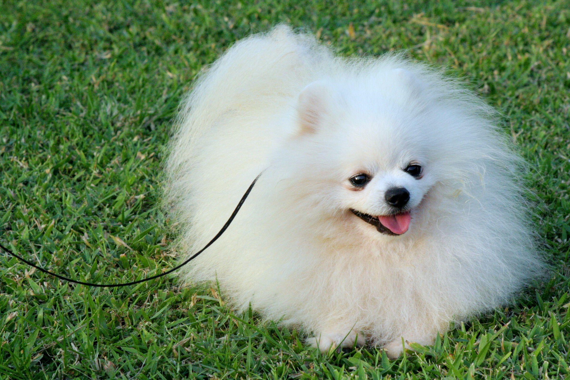 pomeranian puppies White Pomeranian. Male, age of 2