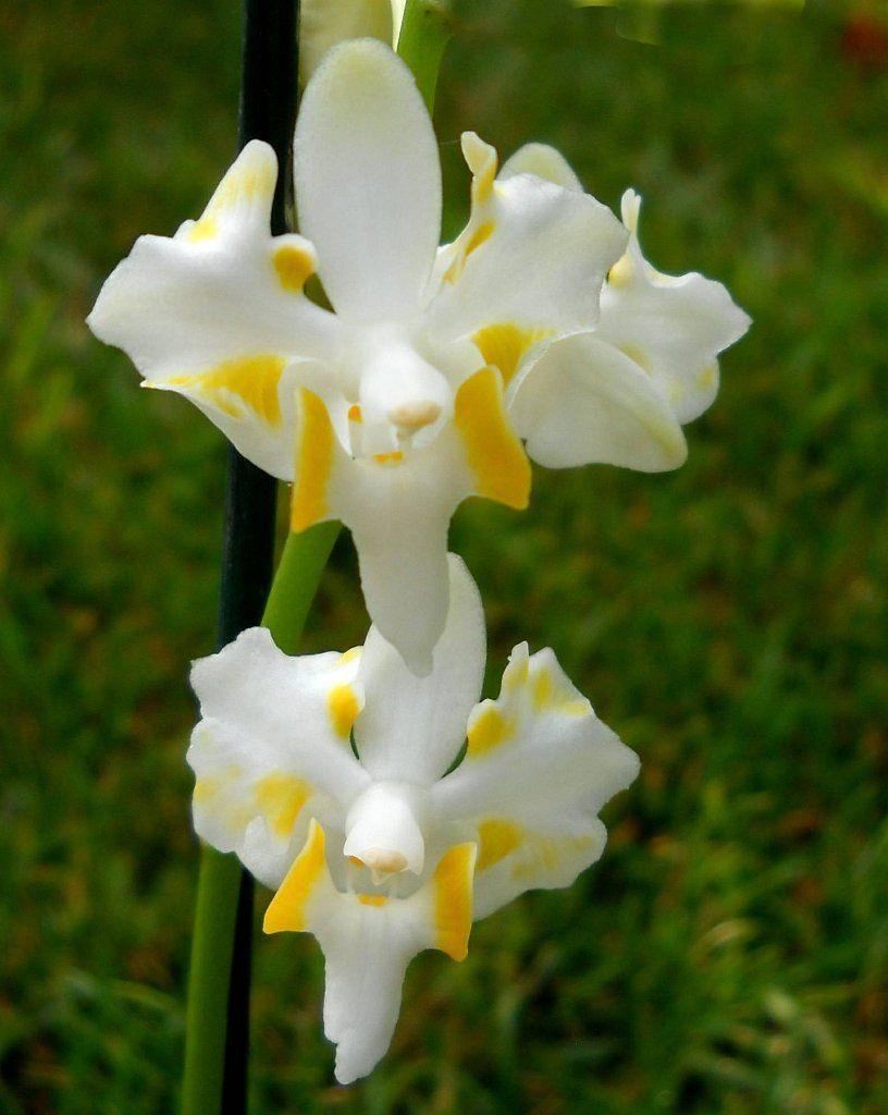 Phalaenopsis, Doritis pulcherrima var. champornensis alba