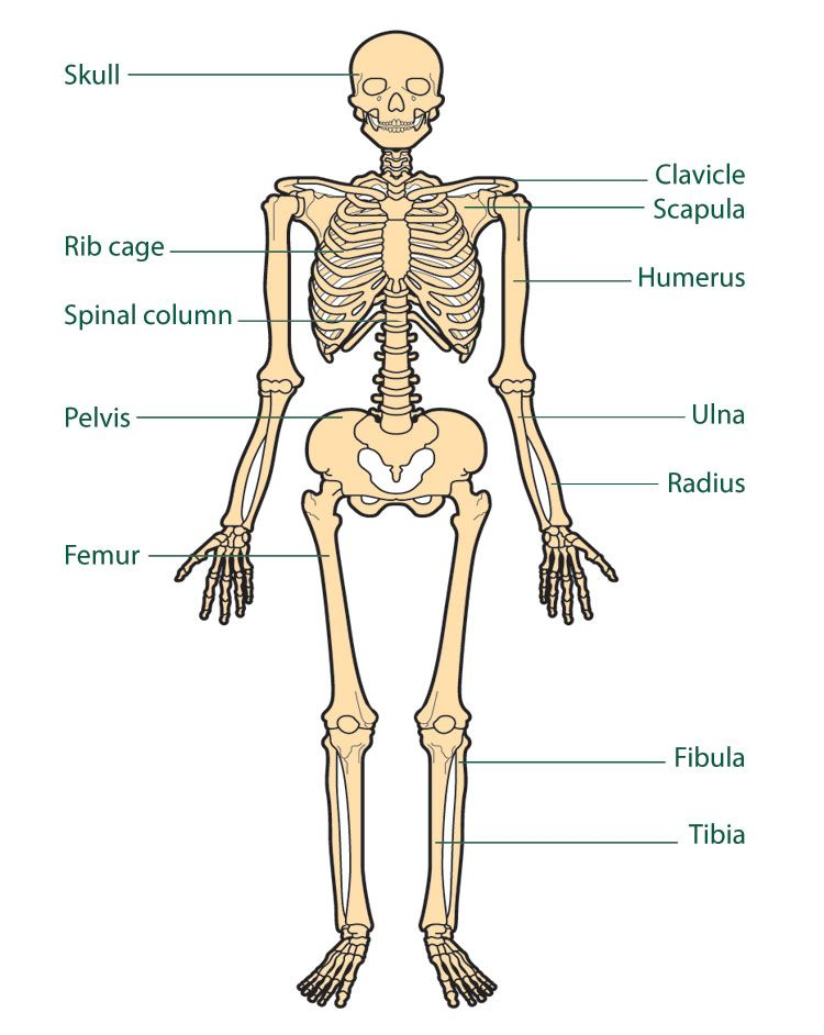 free diagrams human body | human skeleton chart diagram picture, Skeleton