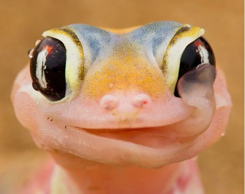 Lizards Who Lick Their Eyes !