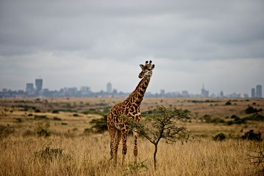 IABR–2014–URBAN BY NATURE– Part 1: A Planet Cultivated | A giraffe against the skyline of Nairobi in Nairobi National Park © James Morgan WWF US | Archinect