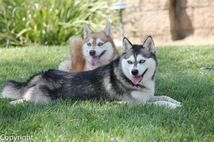 Klee Kai S Dog Pictures Alaskan Klee Kai Dogs Puppies