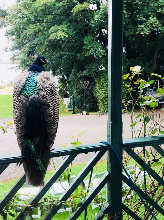 Peacocks symbolize new beginnings and eternal life #peacock #AshleyPark #Ashleyparkhouse #BB #bird #blue #green #tree #animal #Nenagh #Tipperary #Limerick #Ireland #wedding #restaurant #lovebirds