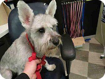 Toronto On Schnauzer Miniature Meet Skippy A Dog For Adoption Kitten Adoption Dog Adoption Dogs