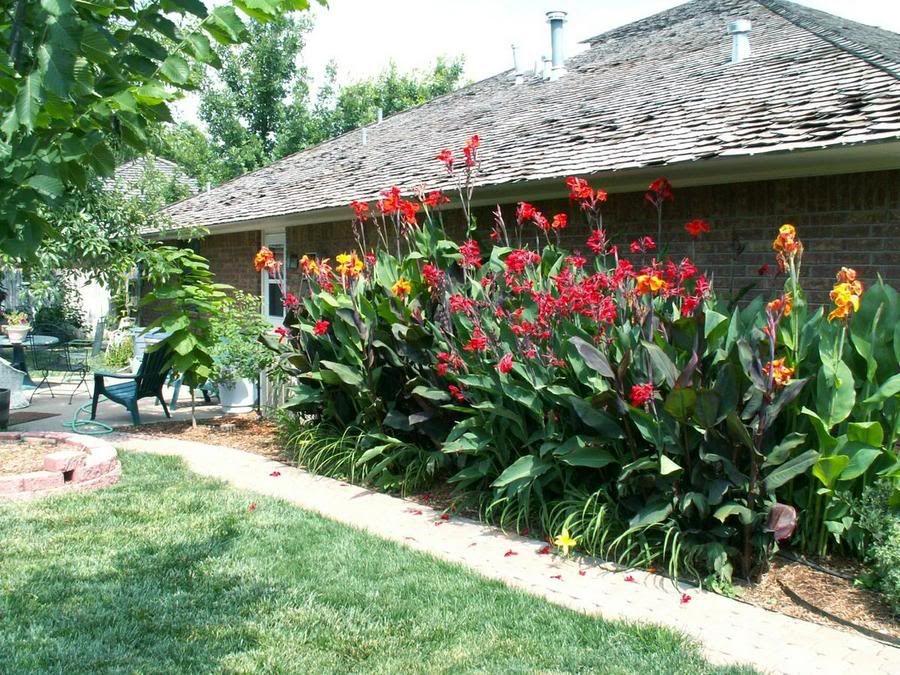 canna lily. grow