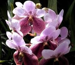orchids - the philippines