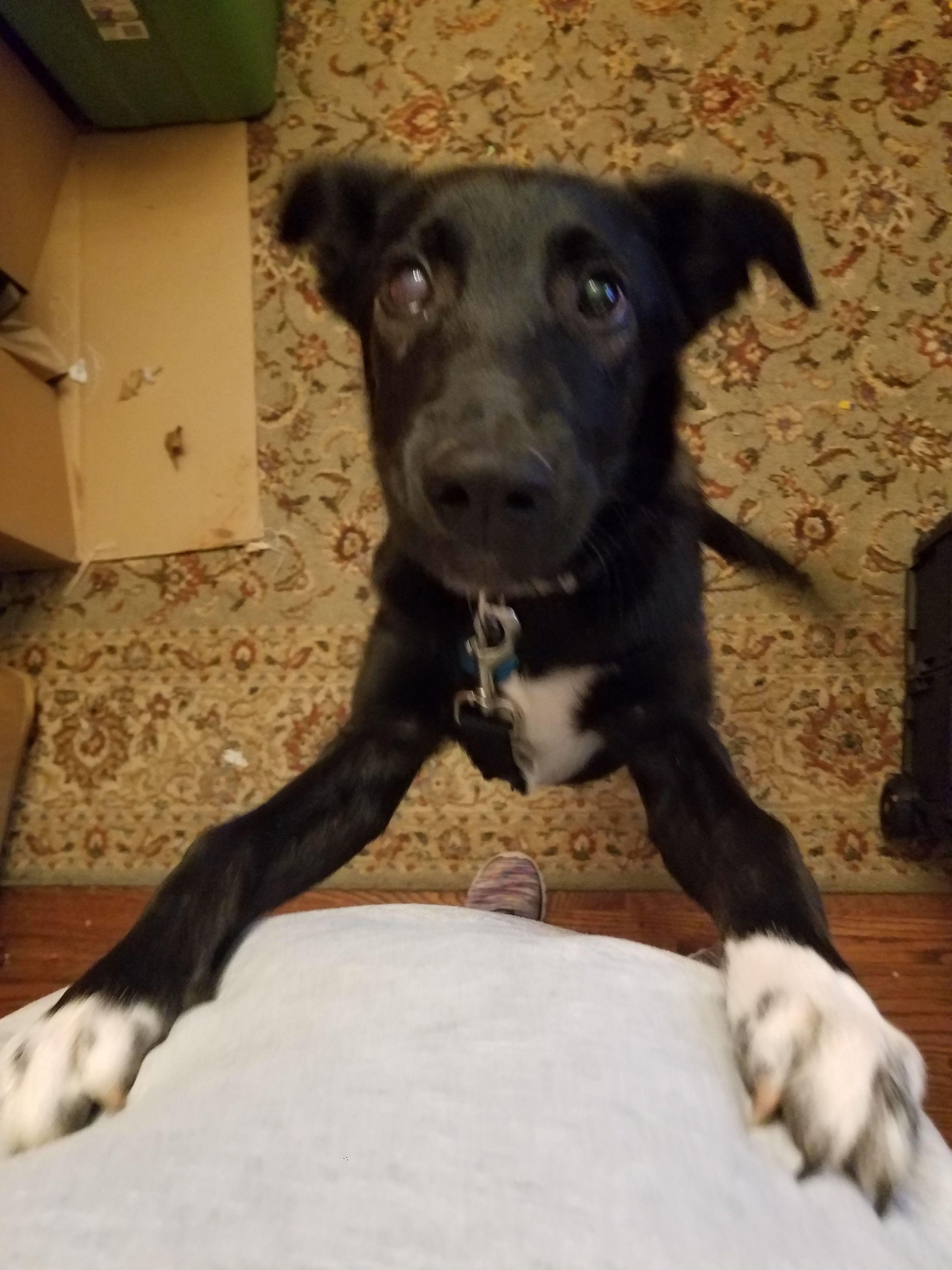 "Adopt Socks "" Border Collie Mix Puppy"" on Border collie"