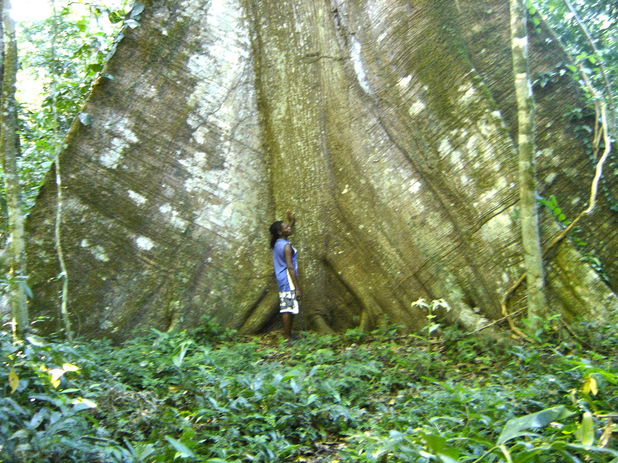 The huge lower part of a Kankantrie tree in the forest of Arapahu.