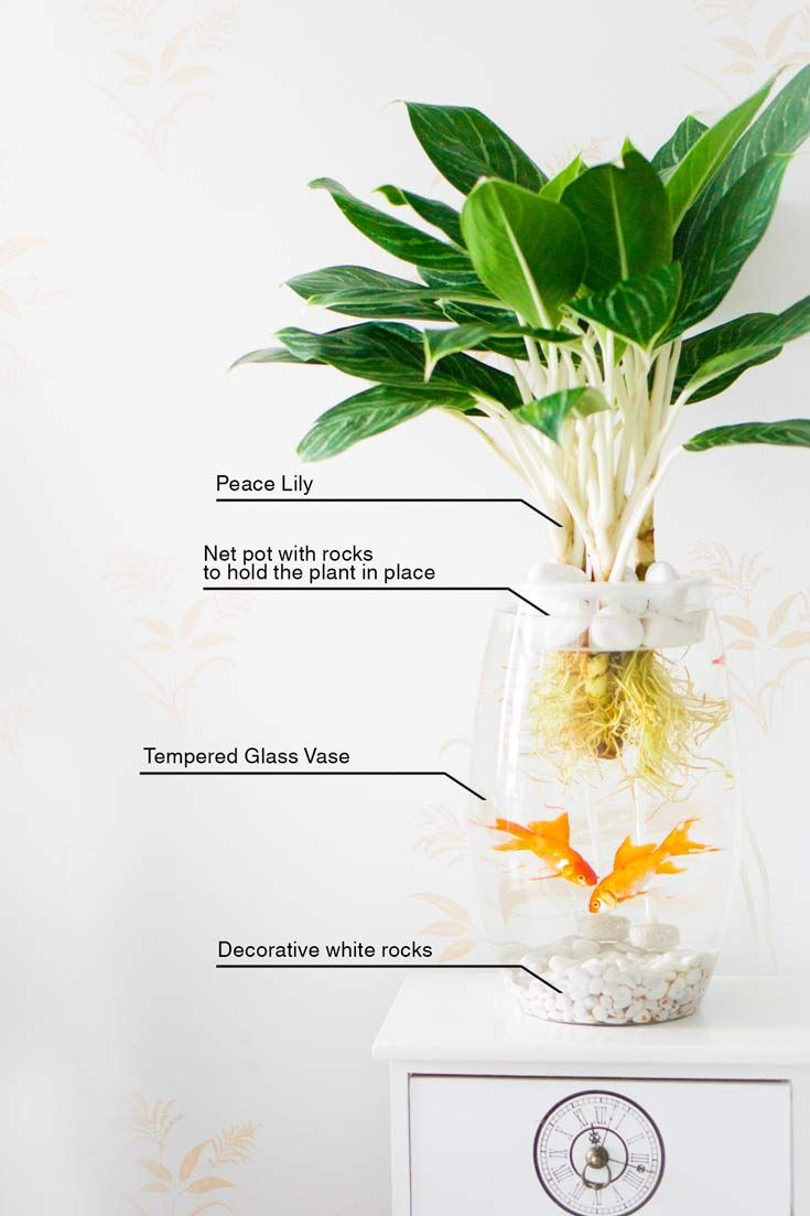 The easiest way to make a betta fish peace lily aquarium in a the easiest way to make a betta fish peace lily aquarium in a vase your creative bone decorating tips pinterest peace lily betta fish and betta reviewsmspy
