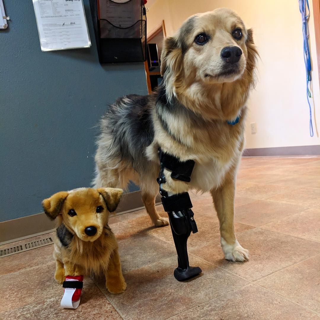 The Guide On Mobility Equipment For Dogs Disabled Dog Dog