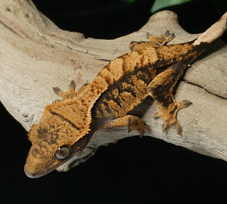 Female extreme harlequin Crested Gecko for sale   Reptiles