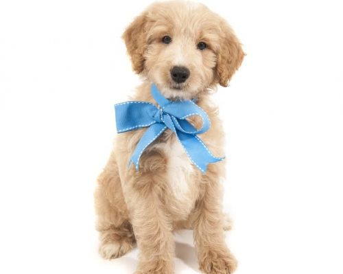 Cockapoo Cute animals, Puppies, Dogs and puppies