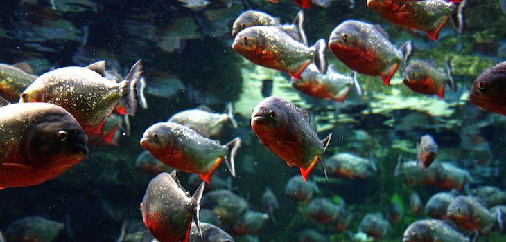 Fotos de peces amazonicos 75