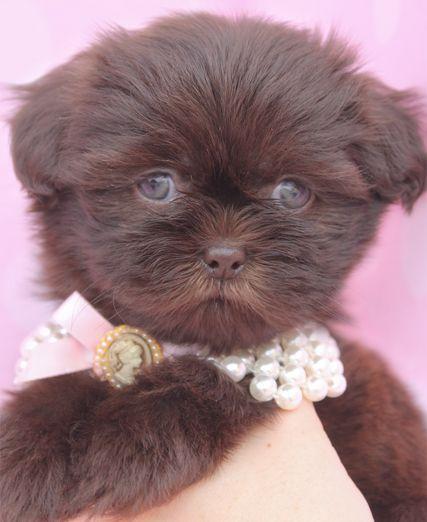 Chocolate Shih Tzu Puppy Shih Tzu Puppy Teacup Puppies Shih Tzu