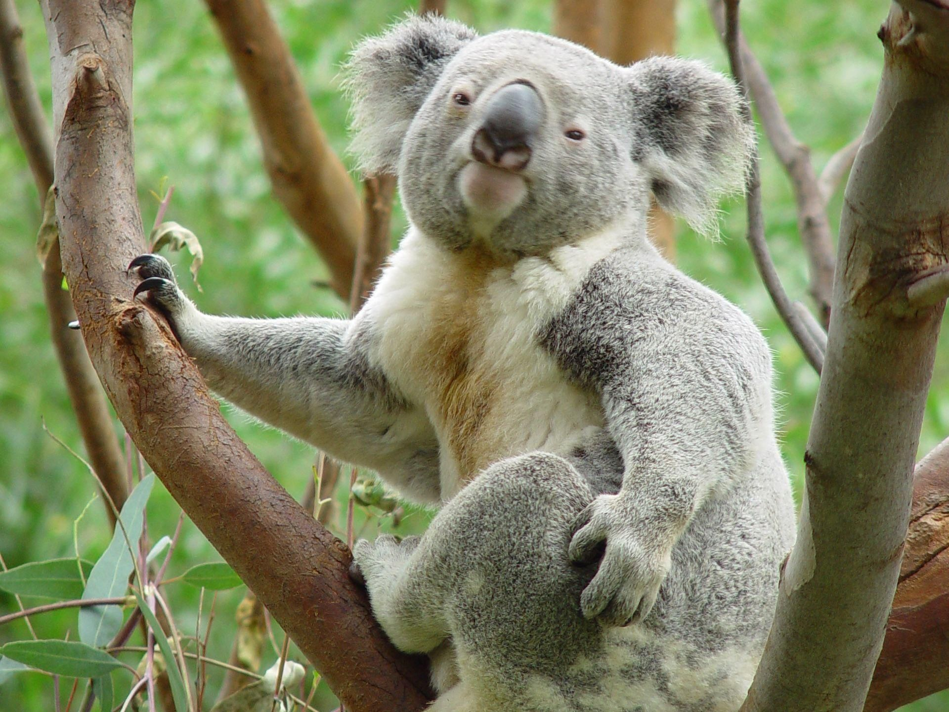 Koala Hd Wallpapers And Backgrounds 38 Http Www Urdunewtrend Com Hd Wallpapers Animal Koala Koala Hd Wallpapers And Backgrounds 38 Koala Bear Koala Koalas