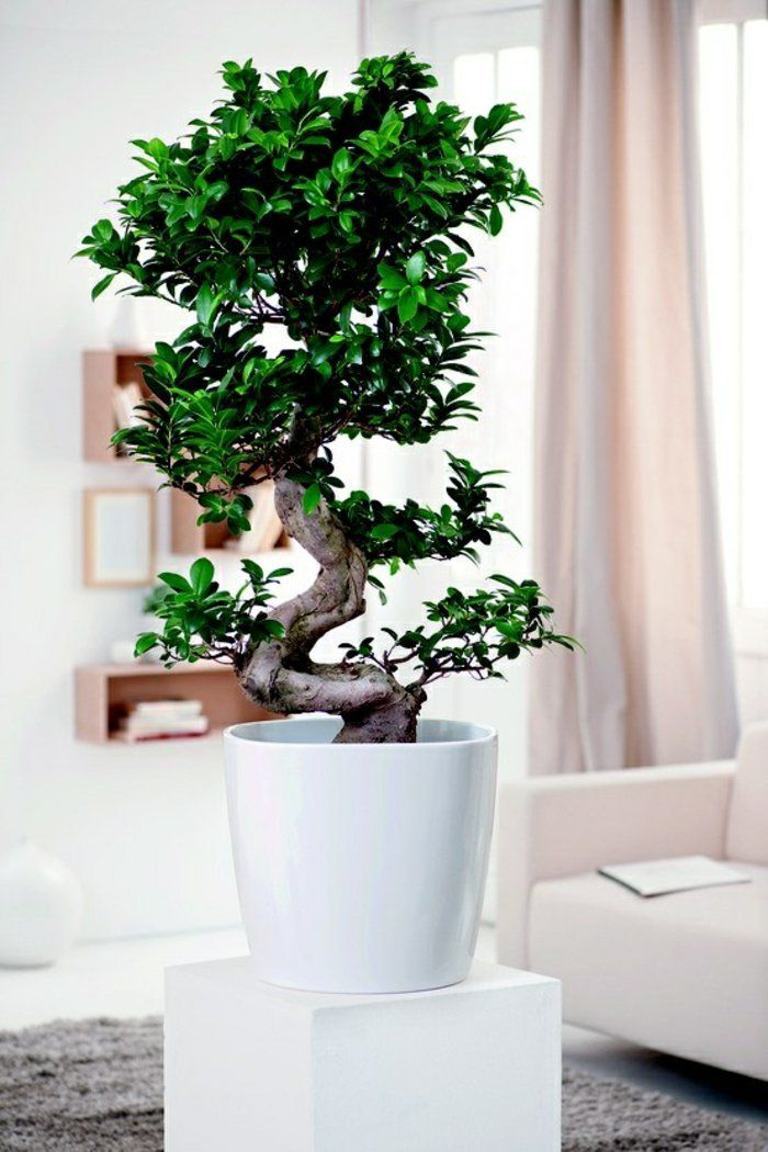 Wohnzimmer Pflanzen wohnzimmer pflanzen birkenfeige zimmerbäumchen bonsai