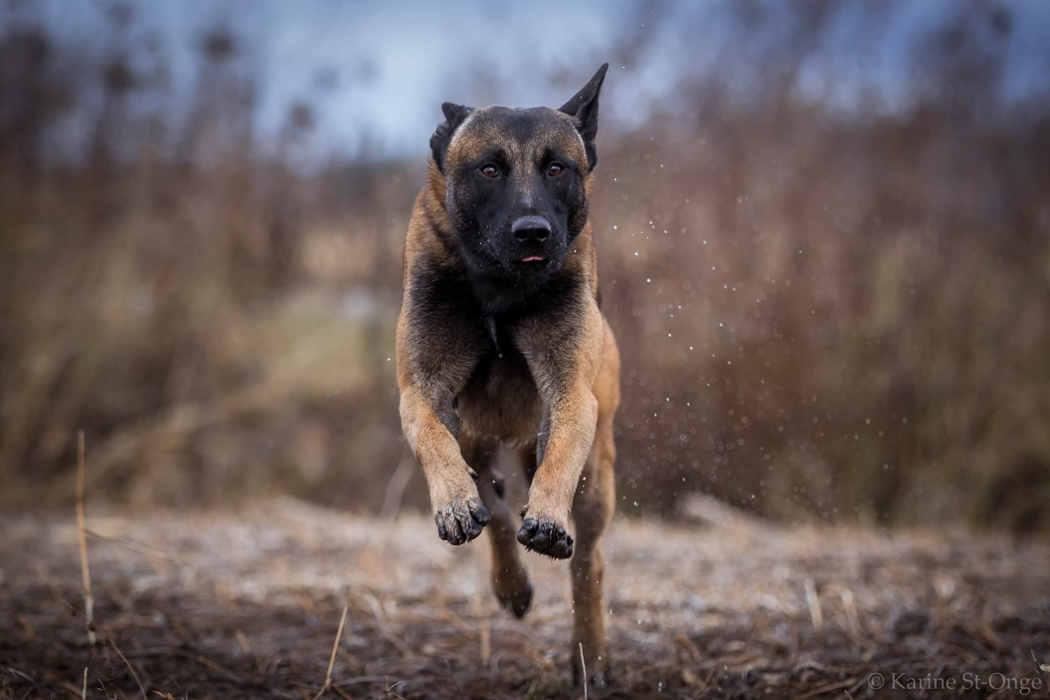 Belgian Malinois Luger Of Malinger Kennels Malinois Dog