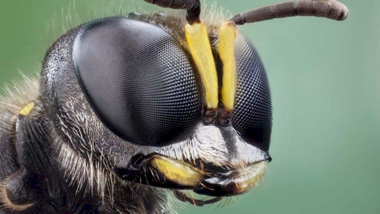 كم عدد عيون النحلة Insect Eyes Insects Animal Photography