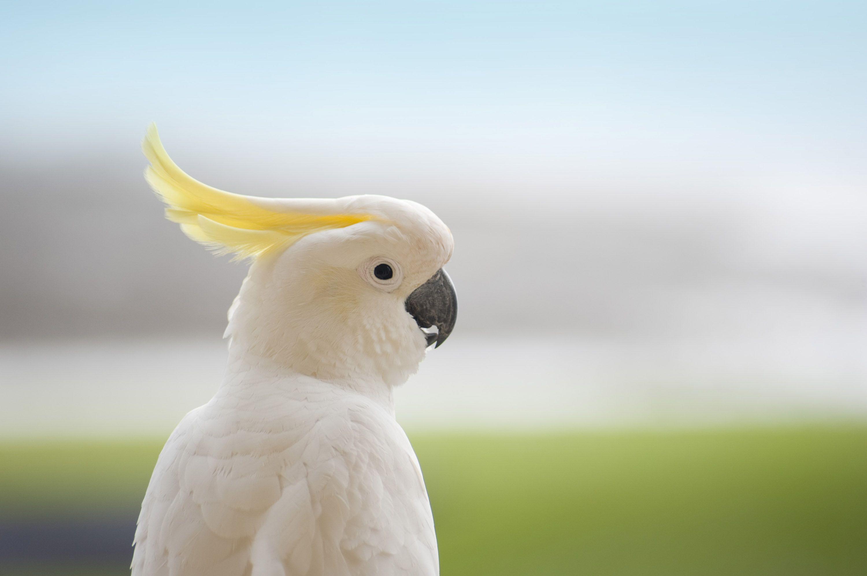 White Cockatoo Cockatoo Hd Wallpaper Animals