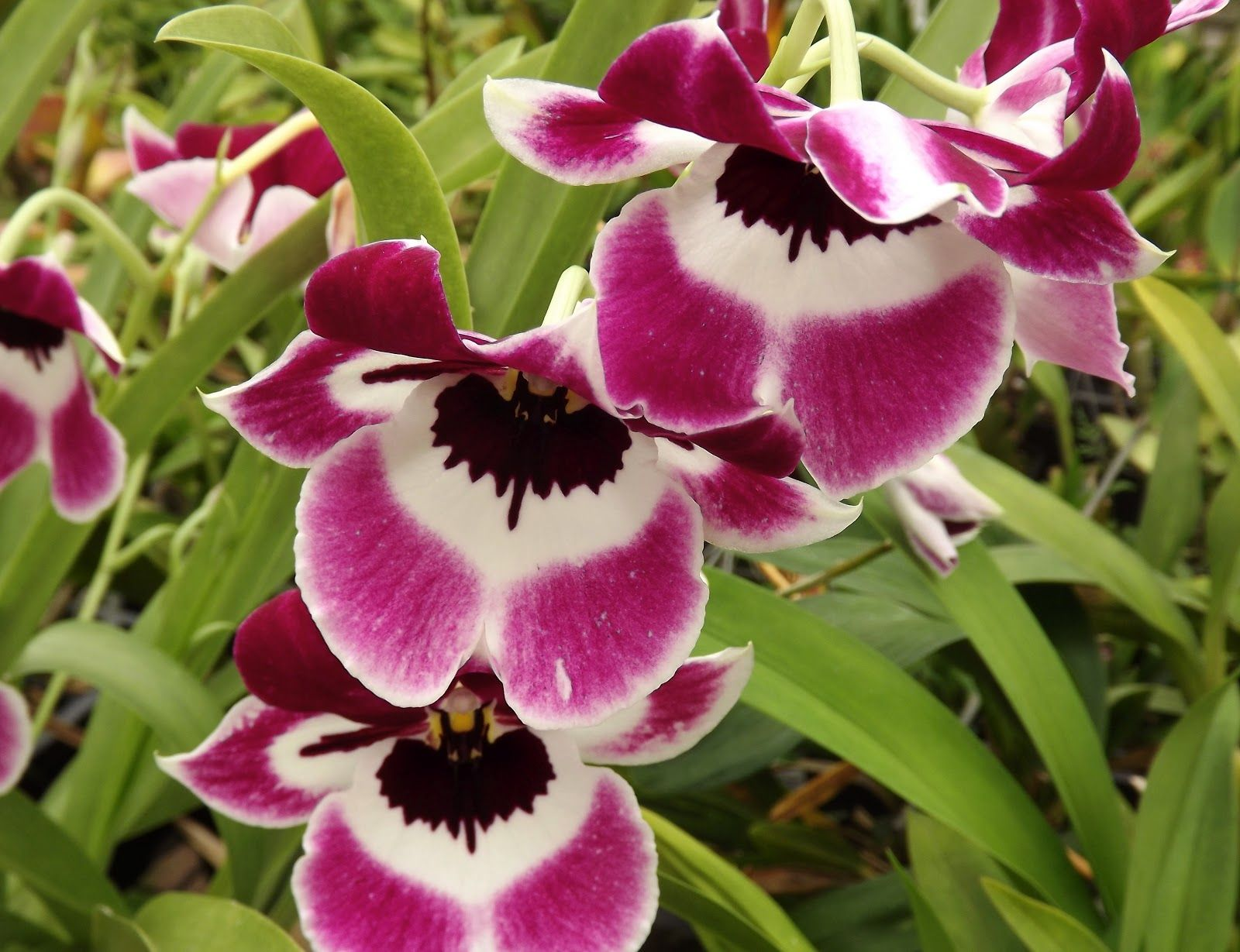 Mps Pink Mooma Yosemite Sam Common Name Is Pansy Orchid And