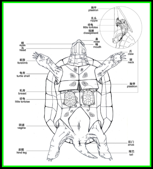 Turtle Reproductive System Diagram Auto Wiring Diagram Today