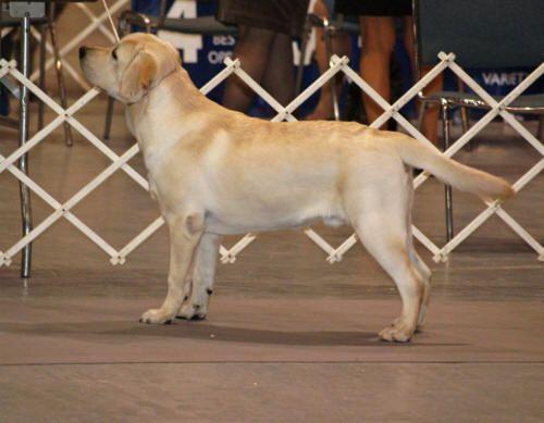 Chambray Labradors Florida Top Labrador Breeder Labrador Breeders Labrador Labrador Puppy