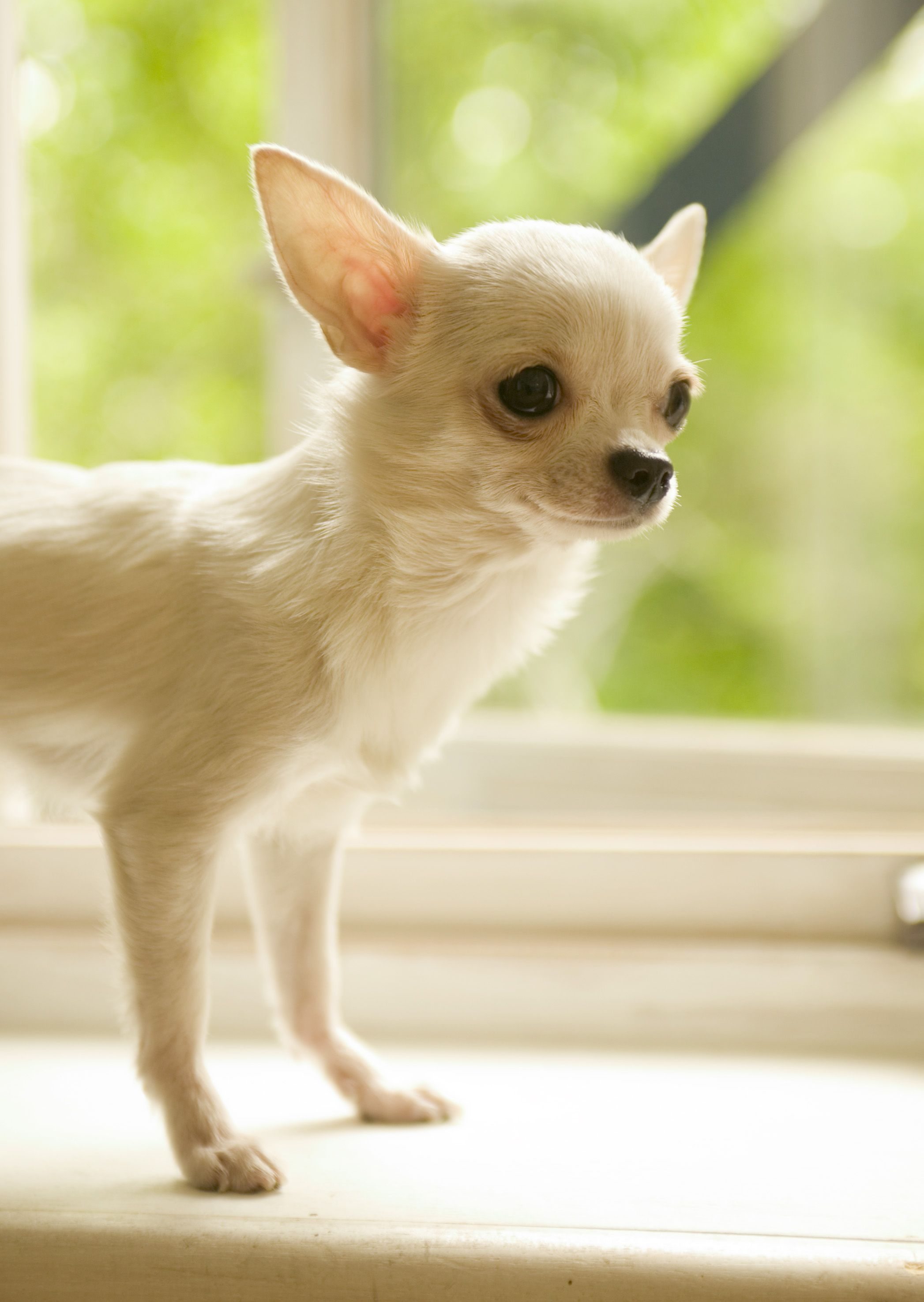 Chihuahua Dog Art Portraits Photographs Information And Just