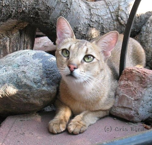 Chausie Kittens And Chausie Cats In California Chausie Cat Hybrid Cat Cats