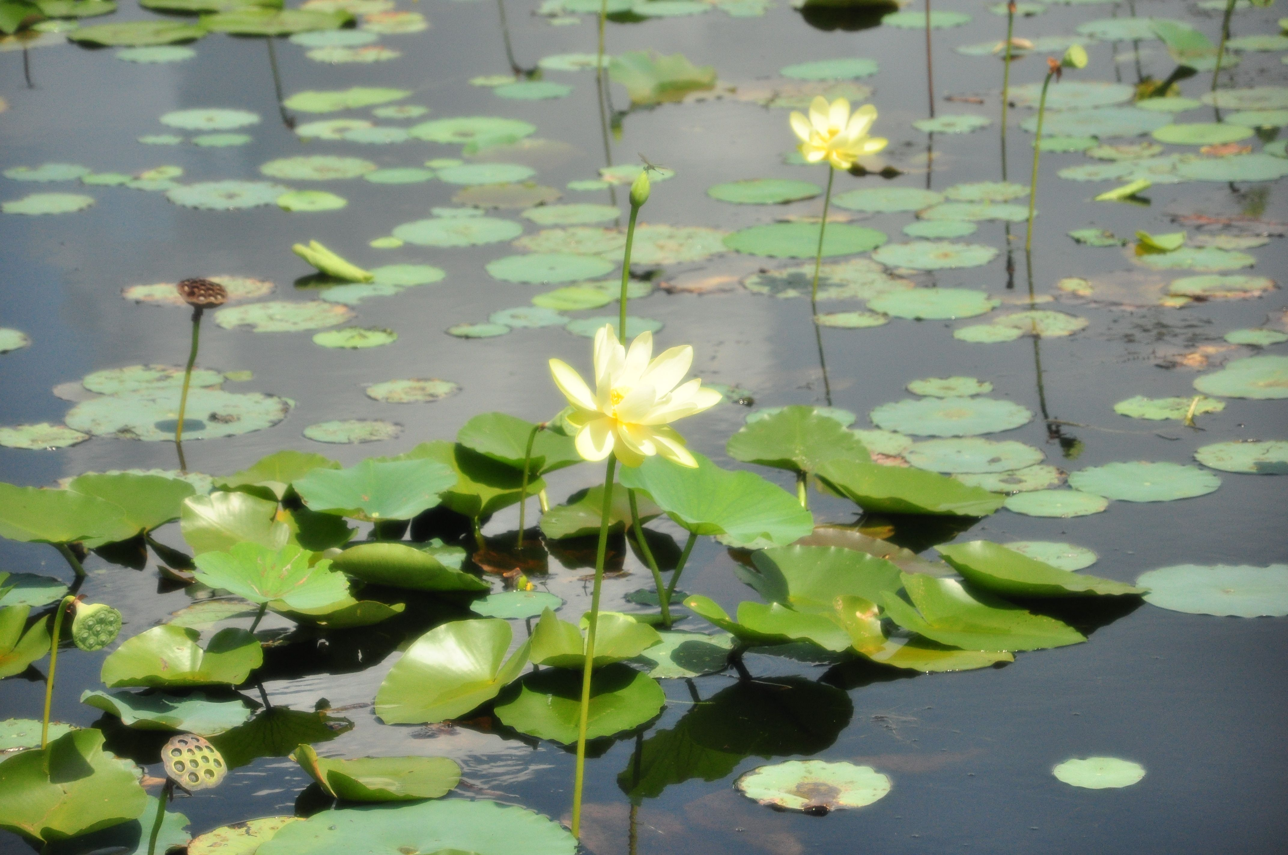 Travel through the water plants and learn about the american lotus travel through the water plants and learn about the american lotus izmirmasajfo
