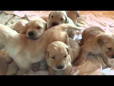Labrador Retriever Puppies Bay Area Shastas Puppies Labrador