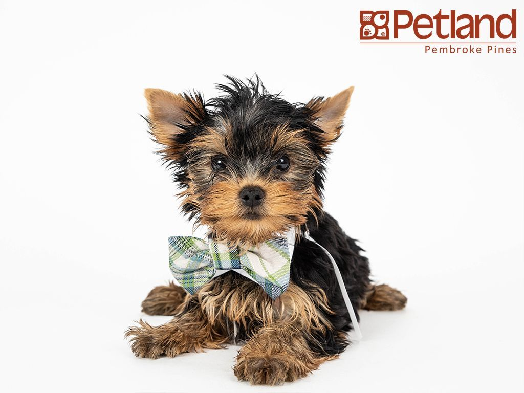 Petland Florida Has Yorkshire Terrier Puppies For Sale Interested In Finding Out More About This Br With Images Yorkshire Terrier Puppies Yorkie Terrier Yorkshire Terrier