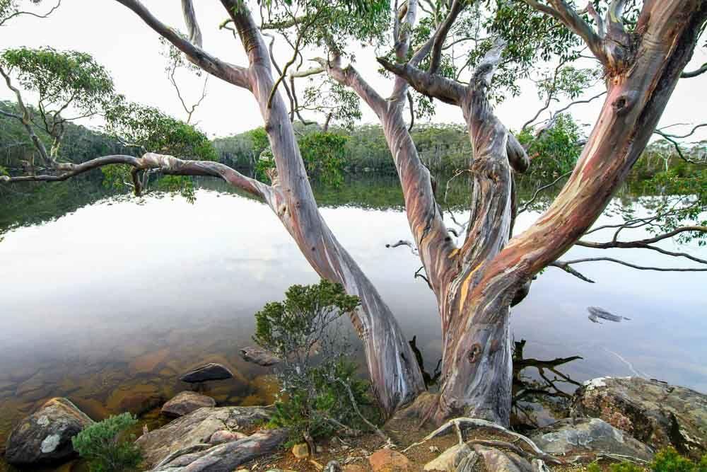 Eucalyptus coccifera (Tasmanian Snow Gum) is a spreading
