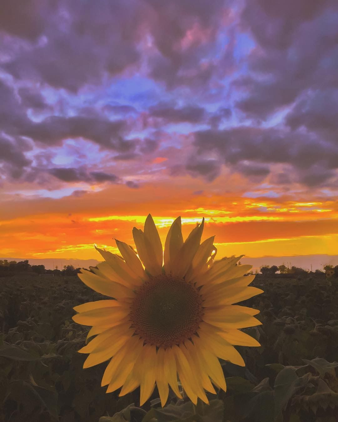 Pin by Michele Tabasso on Sunflowers | Sunflower wallpaper ...