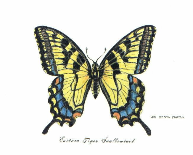 Swallowtail Butterfly | tiger swallowtail butterfly 5 x7 ...