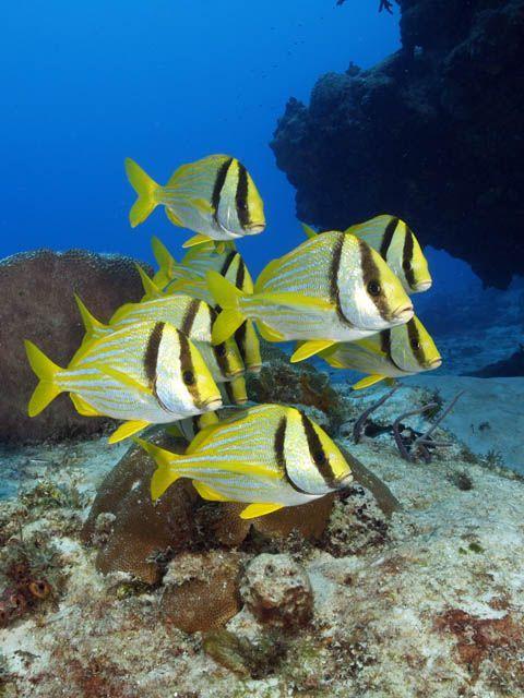 Porkfish Anisotremus Virginicus Sea Creatures Ocean Creatures Marine Fish