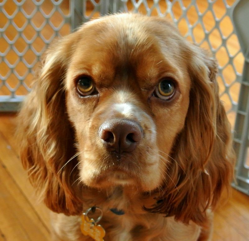 Adopt Brando on Cocker spaniel, Brittany spaniel, Dogs
