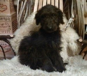 Shepadoodle Puppies For Sale German Shepherd Standard Poodle
