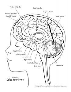 Image result for brain labeling coloring page Brain anatomy