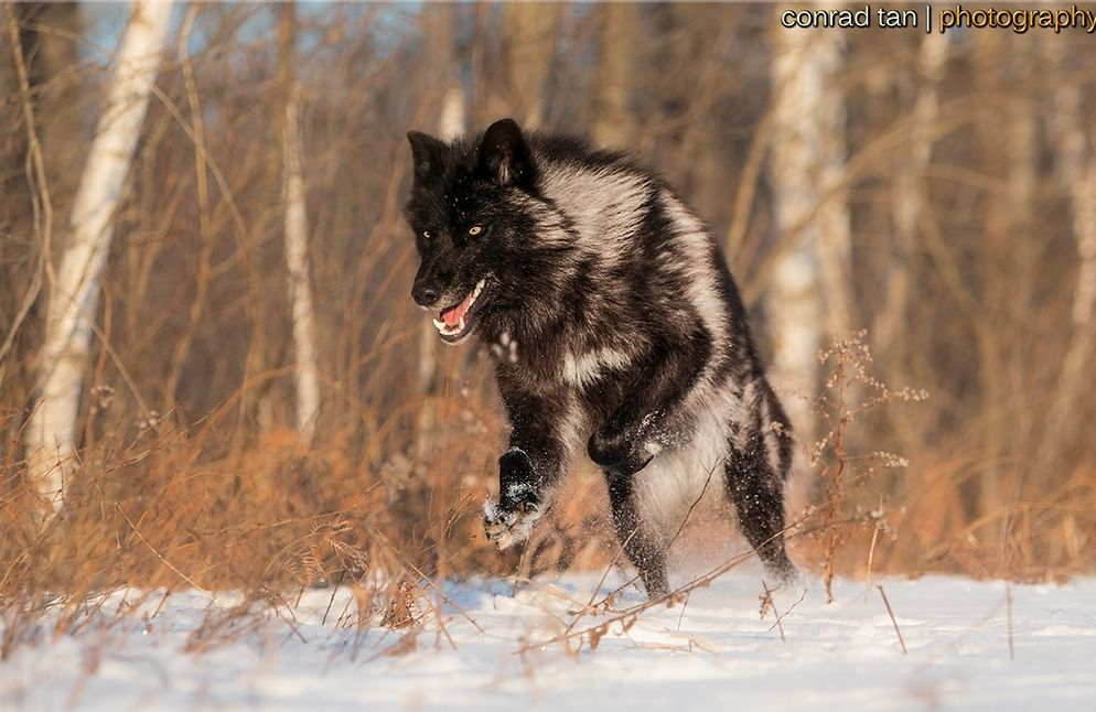 Black timber wolf photographed at a wildlife reserve in northern white wolf perfect timing photos a close encounter with a minnesota black wolf sciox Images