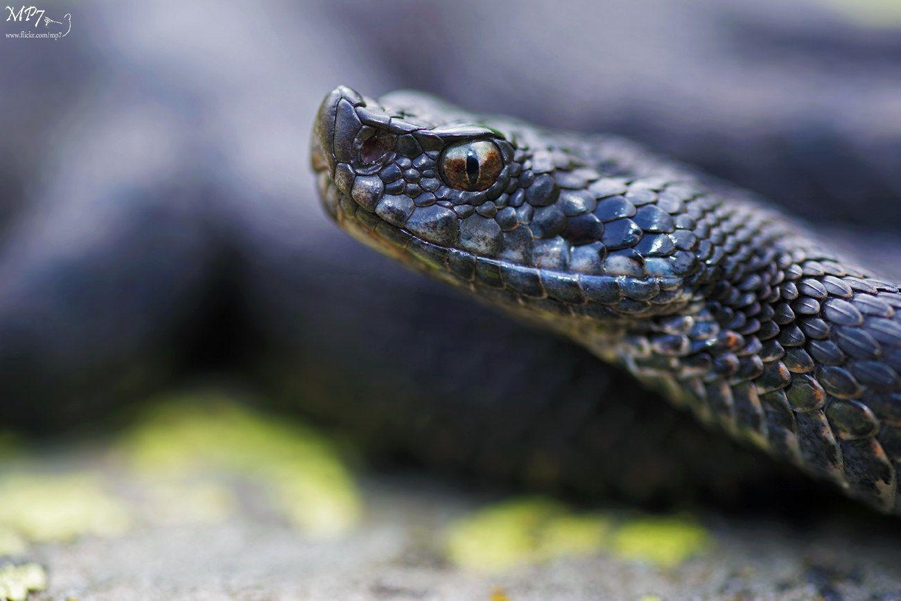 Deep Black Melanic Asp Viper Vipera Aspis Zinnikeri Melanism Deep Viperidae