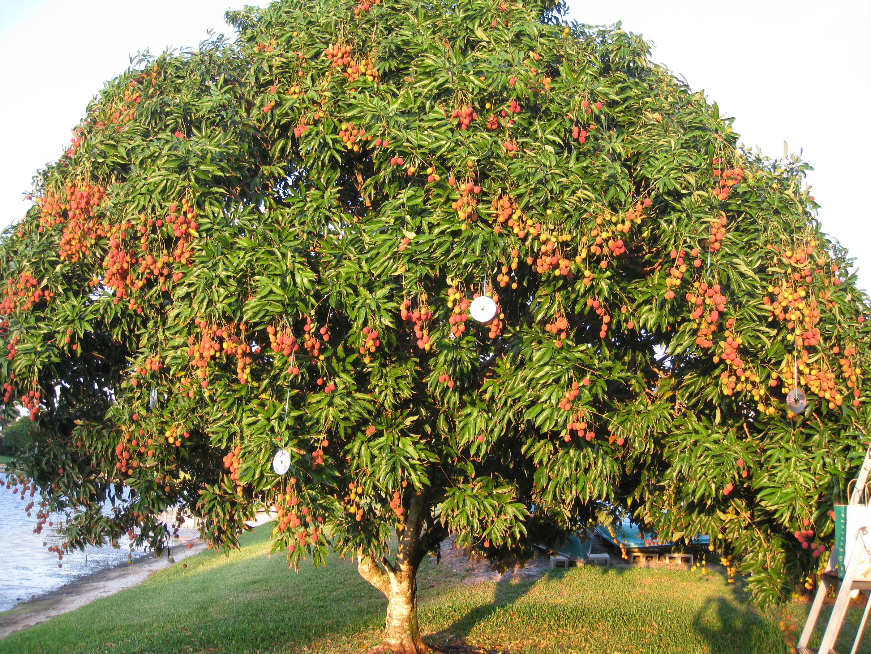 Fruit Tree Nursery Southern California Part - 24: Lychee Tree