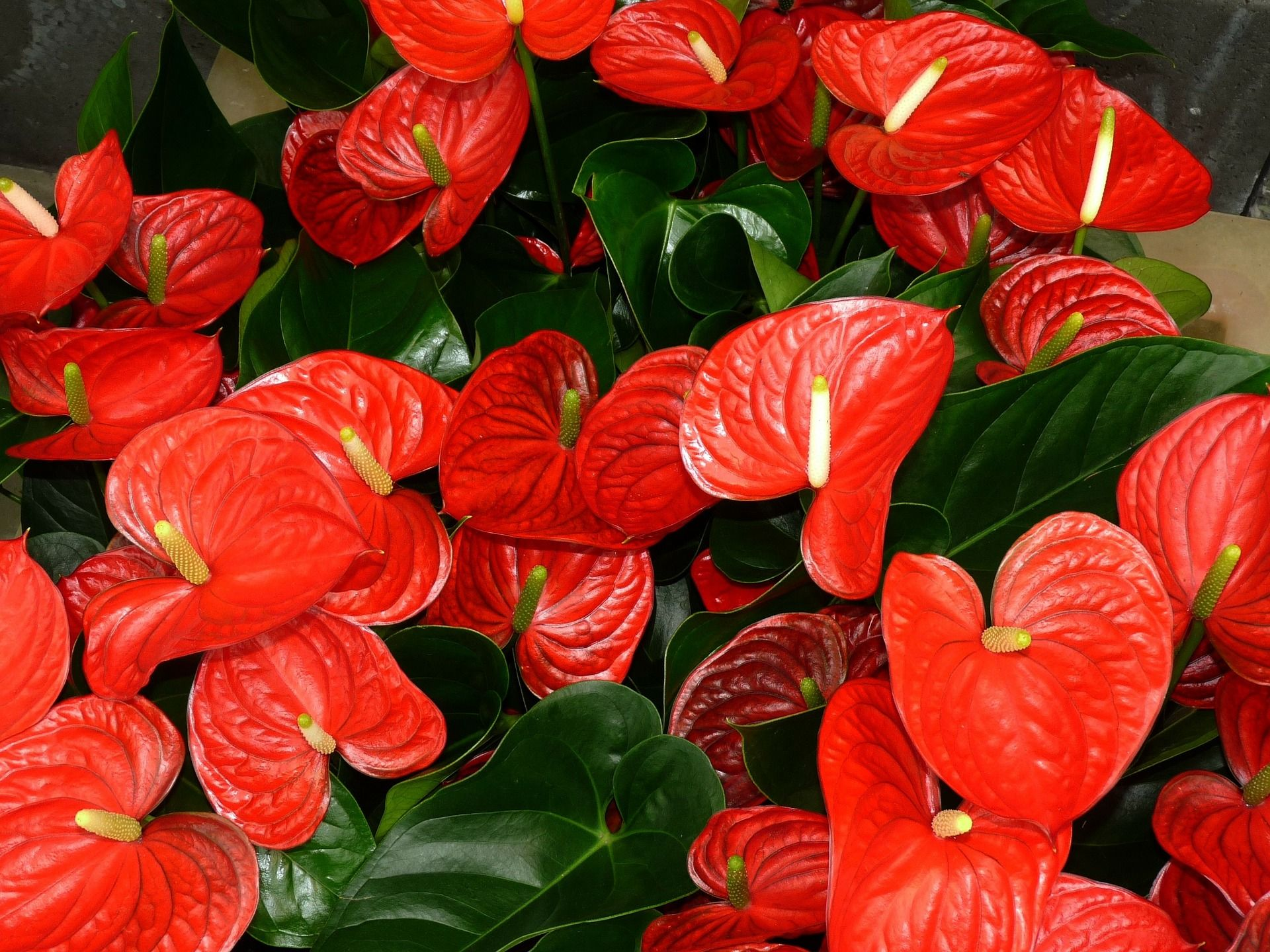 Red Flowering House Plants