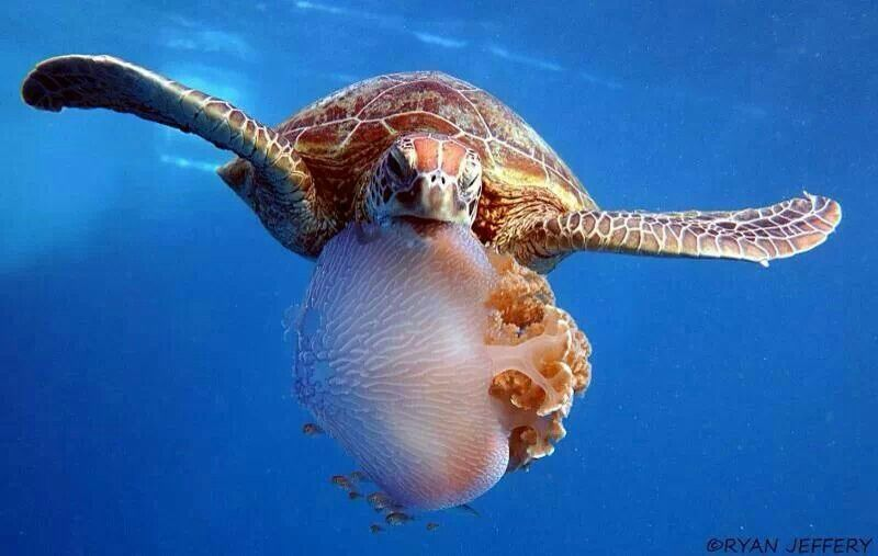 Sea turtle eating jellyfish turtles pinterest eating for What do fish eat in the ocean