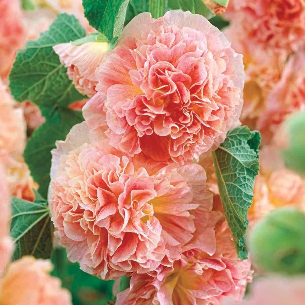 peaches and cream hollyhocks 2, summer Flowers